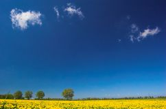 Spring landscape. Yellow meadow, trees, and blue sky with few clouds royalty free stock image