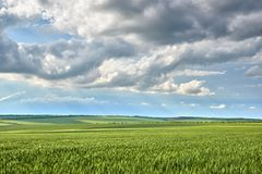 Spring landscape - agricultural field with young ears of wheat, green plants and beautiful sky stock image