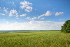 Spring landscape - agricultural field with young ears of wheat, green plants and beautiful sky stock photos