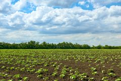 Spring landscape - agricultural field with young sprouts, green plants on black soil and beautiful sky royalty free stock photo