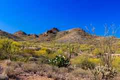 Spring landscape Arizona`s Sonoran desert. Saguaro, ocotillo, prickly pear, cholla cacti and creosote buhes. Spring landscape in Arizona`s Sonoran desert stock photography