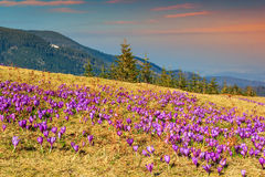 Spring landscape and beautiful crocus flowers in the glade,Romania. Colorful,fresh crocus flowers and spring landscape in the forest,Carpathians,Transylvania Stock Images