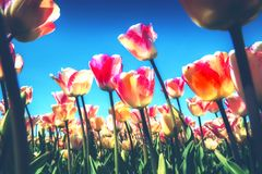 Spring landscape with beautiful yellow and pink tulips. Nature a royalty free stock photography