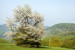 Spring landscape in Bile Karpaty, Czech Republic. Spring landscape with flowering cherry in Carpathian mountains, Horni Lidec, Bile Karpaty, Czech Republic Stock Image