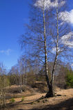 Spring landscape with a birch Royalty Free Stock Photography