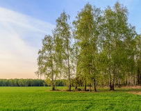 Spring landscape, birch on the edge of the field. The green shoots of wheat Royalty Free Stock Photo