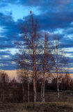 Spring landscape, birch with leaves, crow on the top branch. April evening Royalty Free Stock Image