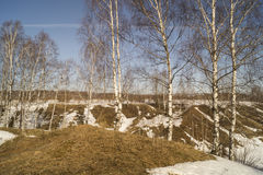 Spring landscape with birch Royalty Free Stock Photo