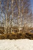 Spring landscape with birch. In rural terrain on background blue sky Stock Photography