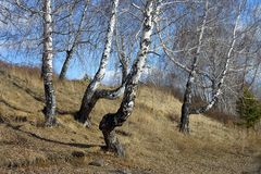 Spring landscape with birch trees Stock Photo