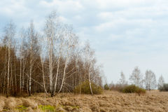 Spring landscape. Birch, wood, dry grass. Stock Image