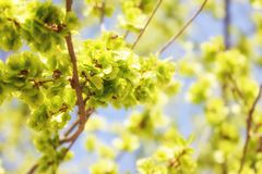 Spring landscape blooming buds on tree branches. royalty free stock image