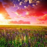 Spring landscape with blooming Lupine on meadow. Royalty Free Stock Images