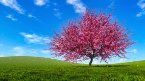 Spring landscape with blooming sakura cherry tree. Spring landscape with single blooming sakura cherry tree and falling pink flower petals on a hills covered stock photography