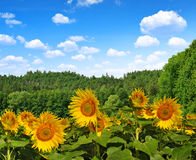 Spring landscape with blooming sunflower Royalty Free Stock Photography