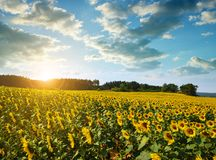 Sunflower field at sunset. Royalty Free Stock Images