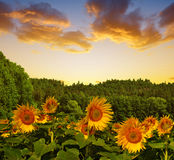 Spring landscape with blooming sunflower Royalty Free Stock Photos