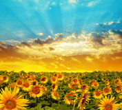 Spring landscape with blooming sunflower field Royalty Free Stock Photo