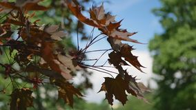 Spring landscape - a blossoming maple against the blue sky. A flowering tree is a maple in the rays of the setting sun stock video footage