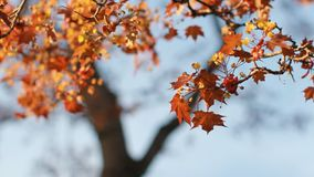 Spring landscape - a blossoming maple with bright orange leaves against the blue sky. A flowering tree is a maple in the rays of the setting sun stock video footage