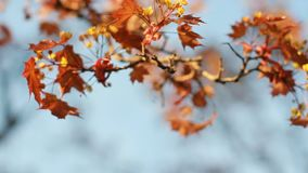 Spring landscape - a blossoming maple with bright orange leaves against the blue sky. A flowering tree is a maple in the rays of the setting sun stock footage