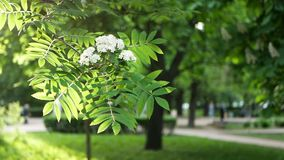 Spring landscape - a blossoming tree in a city park. The branches of the tree sway in the wind against the background of the spring solar park stock video footage