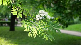 Spring landscape - a blossoming tree in a city park. The branches of the tree sway in the wind against the background of the spring solar park stock footage