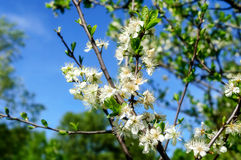 Spring landscape with branch of apple blossom Stock Photos