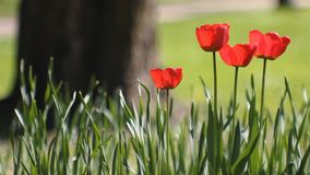 Spring landscape - bright red tulips against a background of green grass. Spring abstract background, landscape - tulips on a lawn in a sunny park stock video