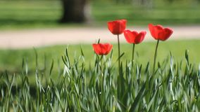 Spring landscape - bright red tulips against a background of green grass. Spring abstract background, landscape - tulips on a lawn in a sunny park stock video footage