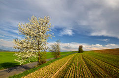 Spring Landscape. With cherry blossom and budding grain Royalty Free Stock Photos
