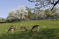 Spring landscape with cherry trees and deer Stock Photo