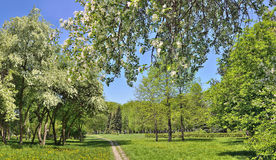 Spring landscape of city park with blooming apple trees Royalty Free Stock Images