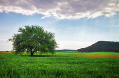Spring landscape, composition of nature. Lonely tree Stock Photos