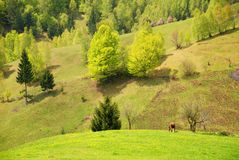 Spring landscape with cow and haystacks Royalty Free Stock Images