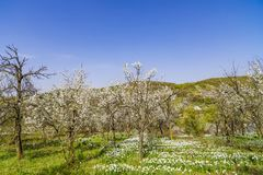 Spring landscape with daffodils among trees Royalty Free Stock Photo