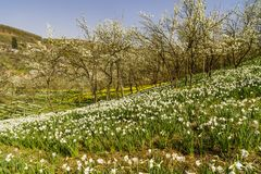 Spring landscape with daffodils among trees Stock Photo