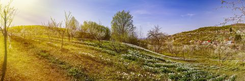 Spring landscape with daffodils among trees Stock Photos