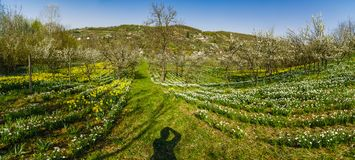 Spring landscape with daffodils among trees Stock Images