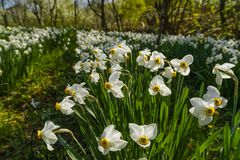 Spring landscape with daffodils among trees Royalty Free Stock Photos