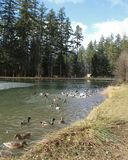 Ducks and geese swimming in pond. Spring landscape with ducks and geese swimming in pond surrounded by grass and tall trees Royalty Free Stock Image