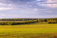 Spring landscape, a field with wheat seedlings. The forest can be seen in the distance Stock Image