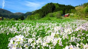 Spring Landscape with A Field of Wild Pink Cuckoo Flowers and A Red House in A Green Valley. Image of a beautiful field of pink cuckoo flowers blooming in the stock images