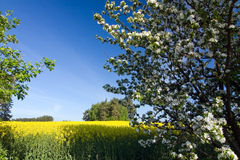 Spring landscape with a field of yellow rapeseed Royalty Free Stock Images