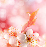 Spring landscape. Flowering branch of cherry Stock Image