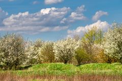 Spring landscape with flowering bushes Royalty Free Stock Image