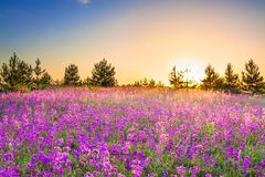 Spring landscape with  flowering purple flowers on meadow stock photography