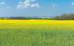 Spring landscape with flowering rape-seed field Stock Image
