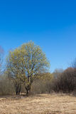 Spring landscape. With flowering tree willow against the blue sky Royalty Free Stock Photos