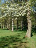 Spring landscape flowering trees Royalty Free Stock Photos